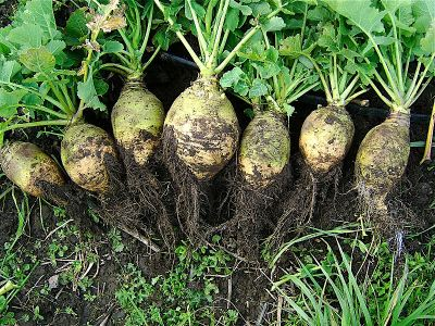 Scandinavian rutabaga recipe